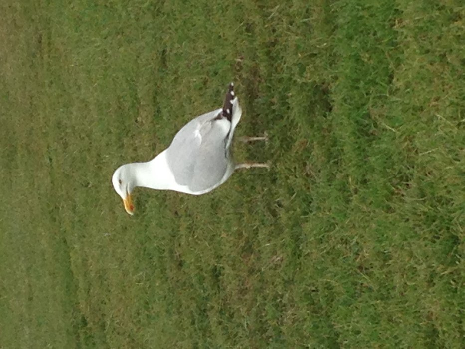 Seagull in UK