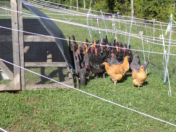 Freezer Camp  catching roosters1 crop Sept. 2020.jpg
