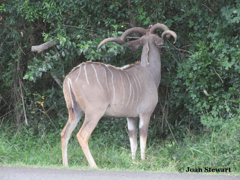 Kudu Horns.png