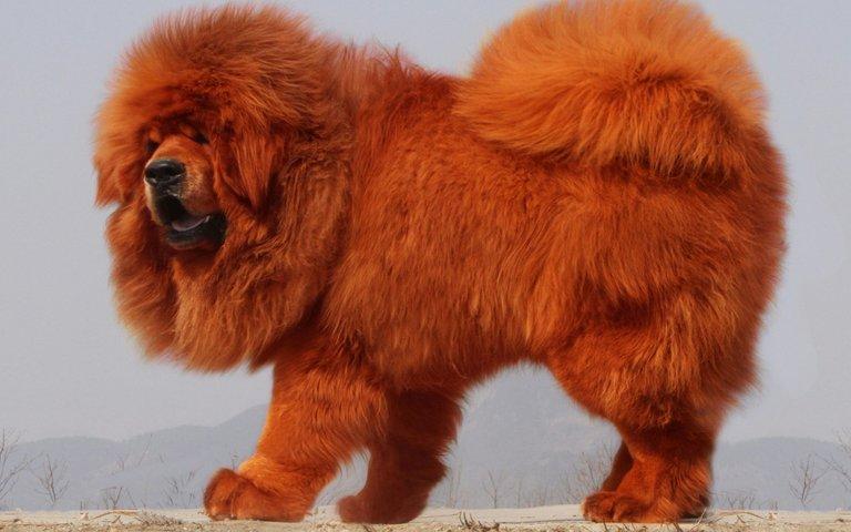 tibetan-mastiff-4k-fluffy-dog-brown-tibetan-mastiff-pets.jpg