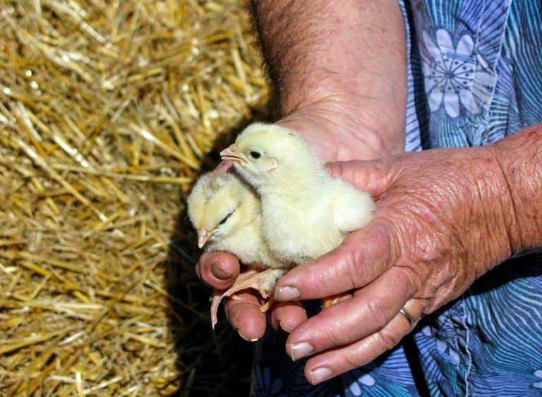 chicks-hands-work-peasant-woman-545032274cf54a18f7faba99ff81f4ca.jpg
