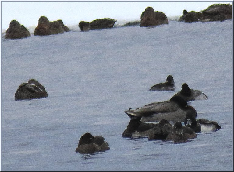 ring necked ducks huddle by mallard duck in icy water.JPG