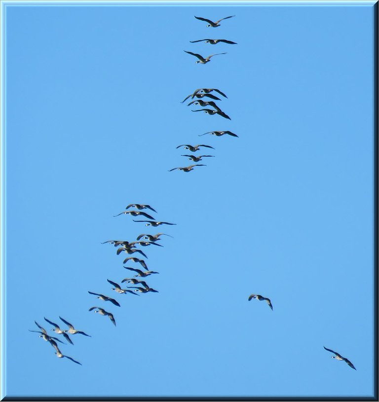 close up Canada Geese flying in formation in blue sky.JPG
