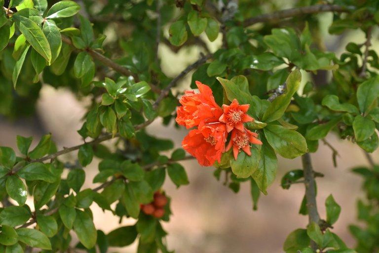 pomegranate flowers 1.jpg