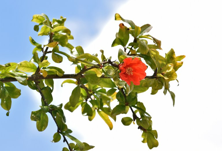 pomegranate flowers 7.jpg