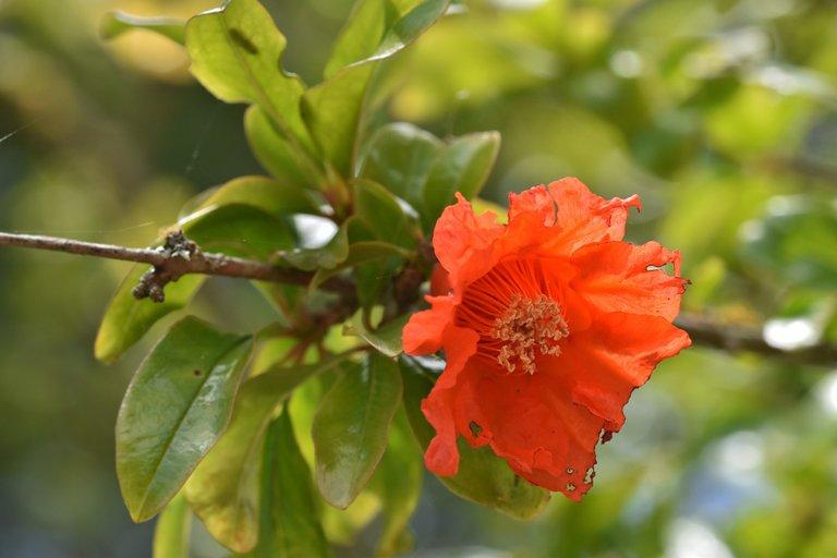 pomegranate flowers 6.jpg