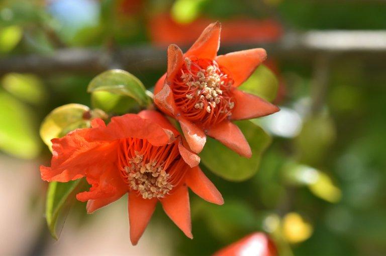 pomegranate flowers 5.jpg