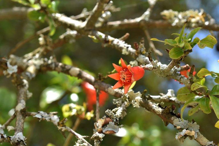pomegranate flowers 2.jpg