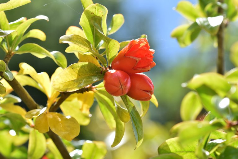 pomegranate flowers 8.jpg