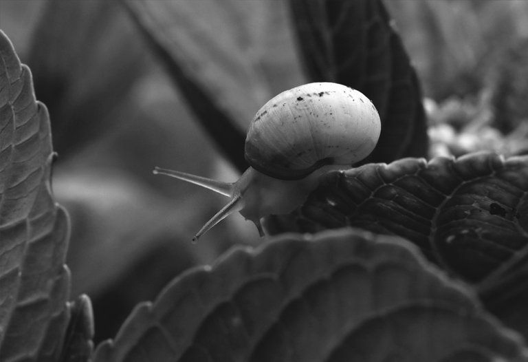 snail hydrangea bw 3.jpg