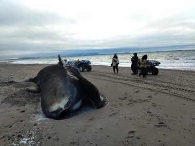 This is one of the four bowhead whales found beached. The bowhead whales were spaced out along the beach, said Rene Kukkuvak, who took this photo. (Photo by Rene Kukkuvak)