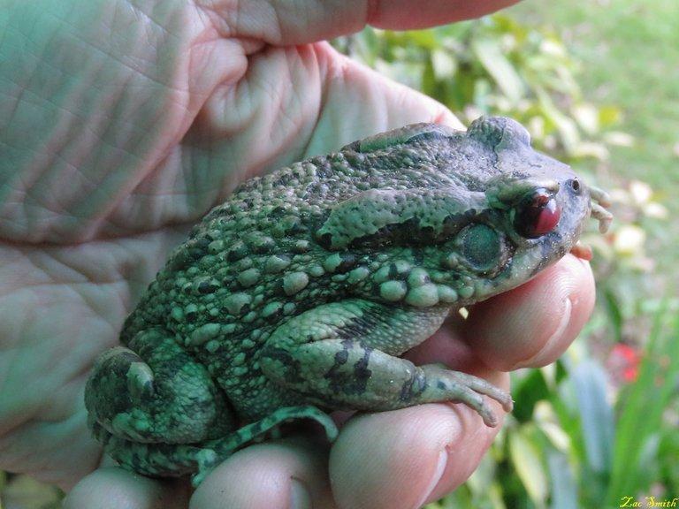 Mr. Bullfrog.jpg
