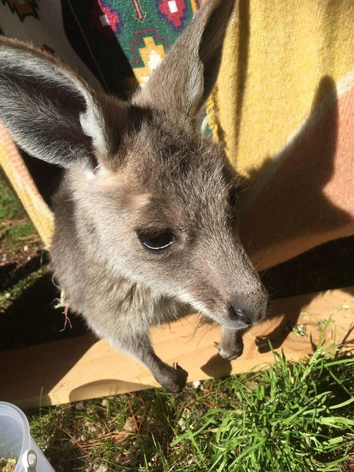 baby kangaroo.jpg