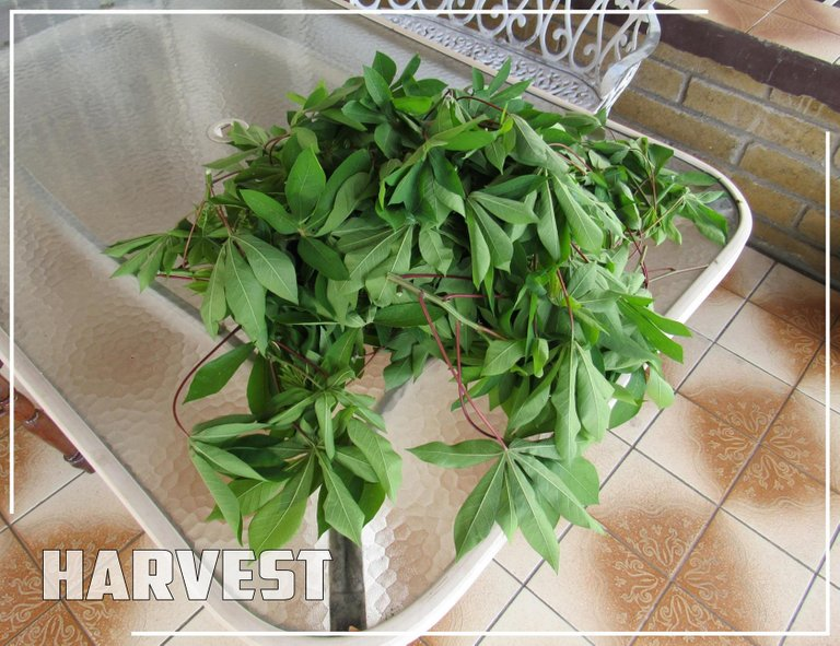 CassavaHarvest.jpg