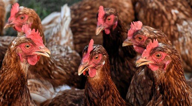 chickens-4351587_960_720 Hühner Versammlung.jpg