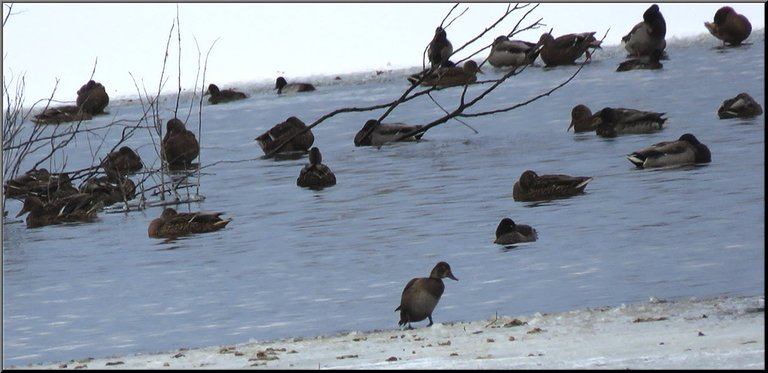 duck walking up on ice others resting on water or edge of ice.JPG