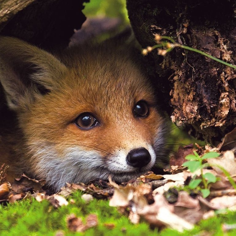 domesticated_or_wild_foxes_are_both_cute_and_resourceful.jpg