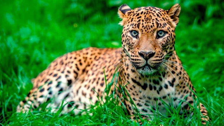 leopardosrilanka600x338copia.jpg