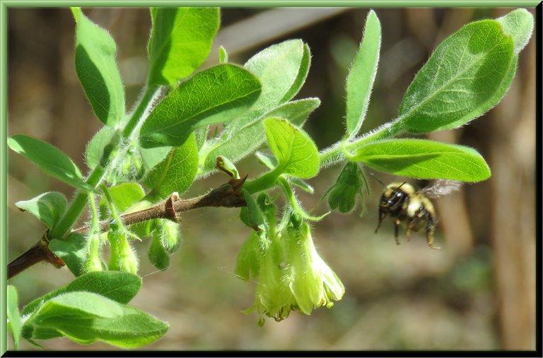 bee flying to Haskap blossom.JPG