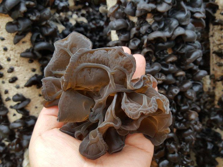 Wood_ear_mushroom_harvest_2.jpg