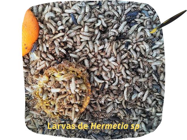 Diptera larvas.png