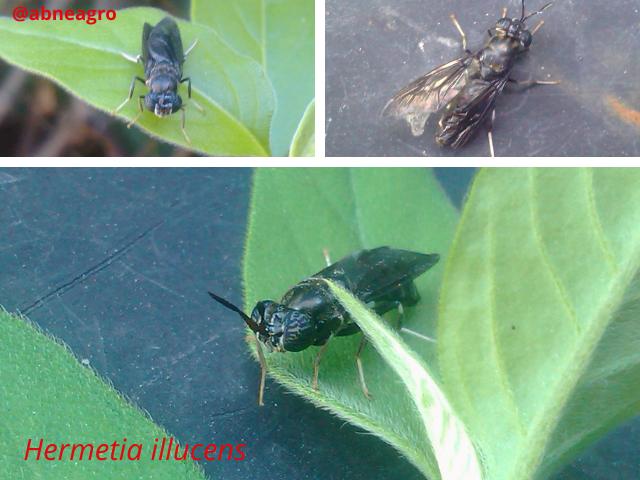 Diptera f 44.png