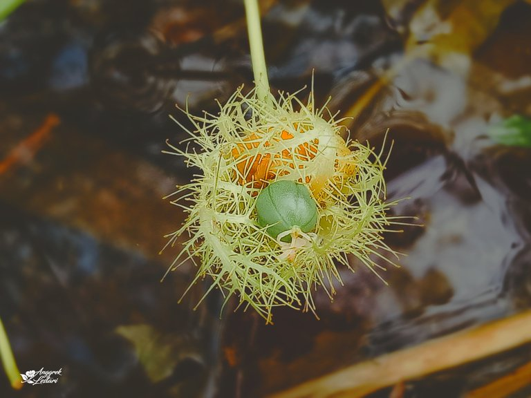 Young Bush Passion Fruit