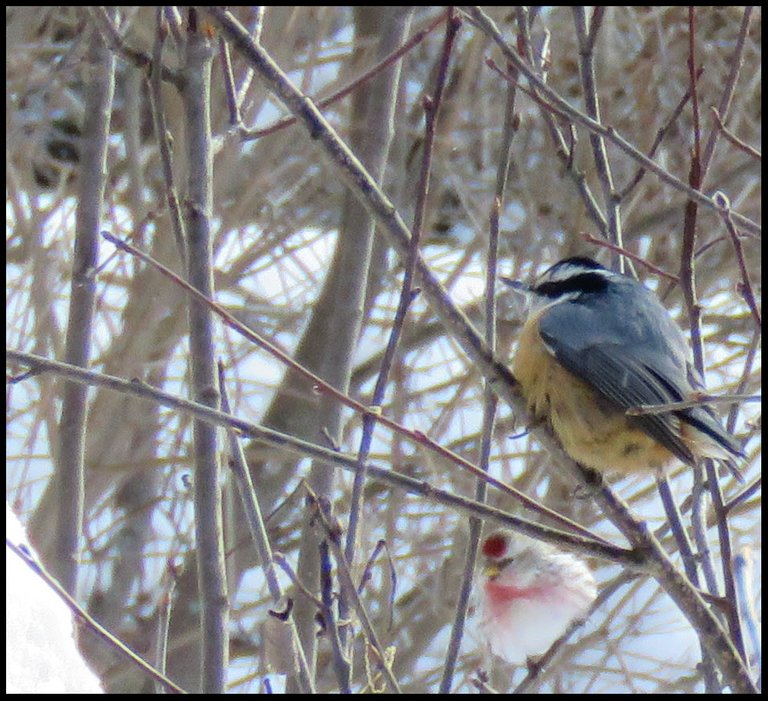 close up nuthatch and redpoll sitting on branches.JPG