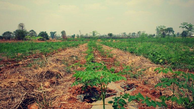 Organic-Moringa-Farm-2.jpg