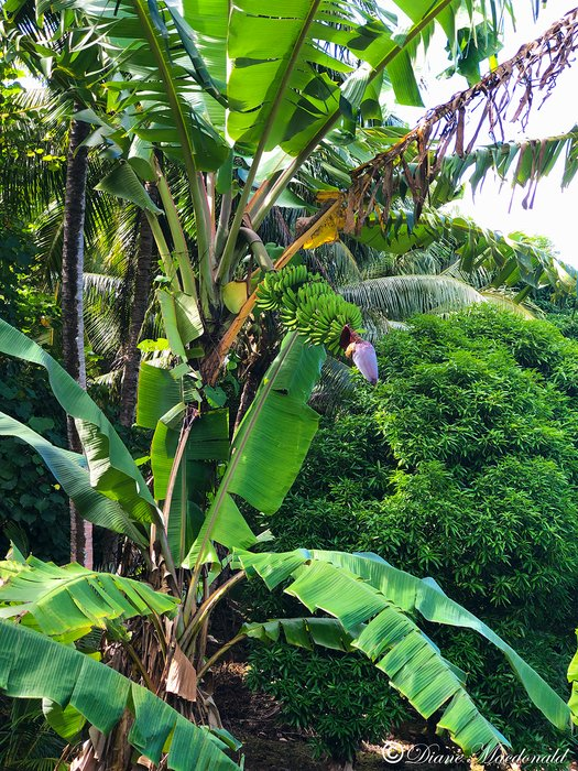 banana tree uahine.jpg