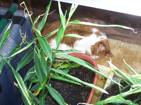 Bryde being ginger crop May 2020.jpg