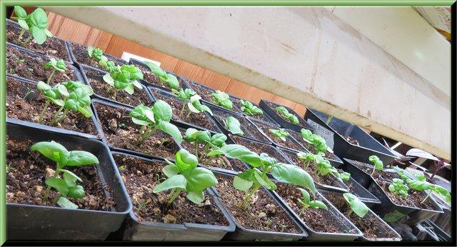 new crop of basil plants under lights.JPG
