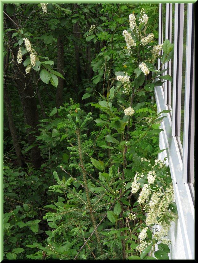chokecherry bush in bloom by sun room.JPG