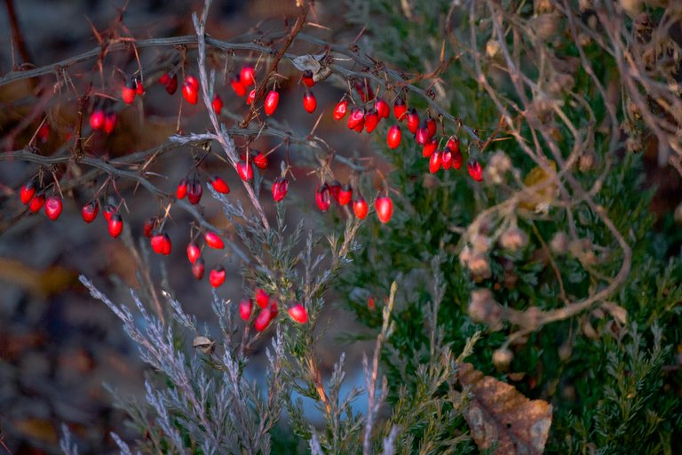 барбарис ягоды зимой3.jpg