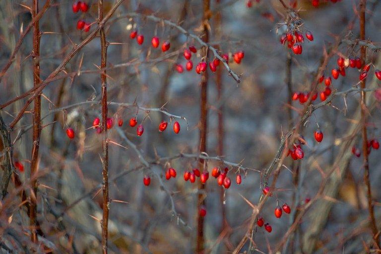 барбарис ягоды зимой1.jpg