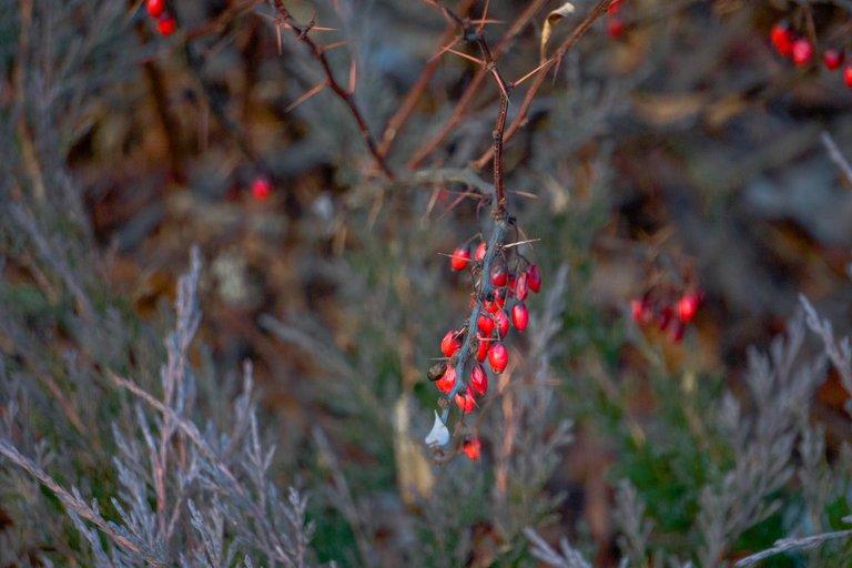 барбарис ягоды зимой2.jpg