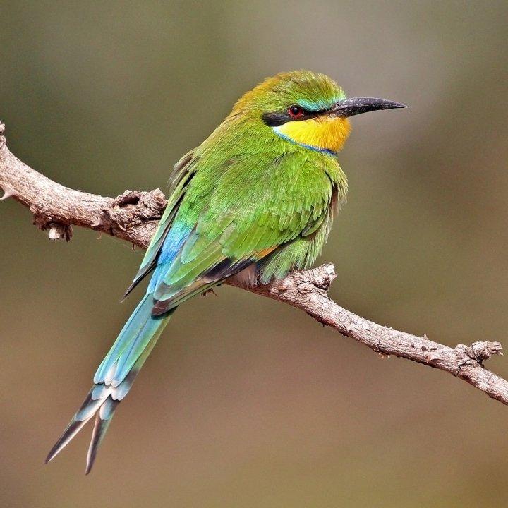 Swallow-tailed bee-eater Merops hirundineus_chrysolaimus  credit Charles J. Sharp 4.0.jpg