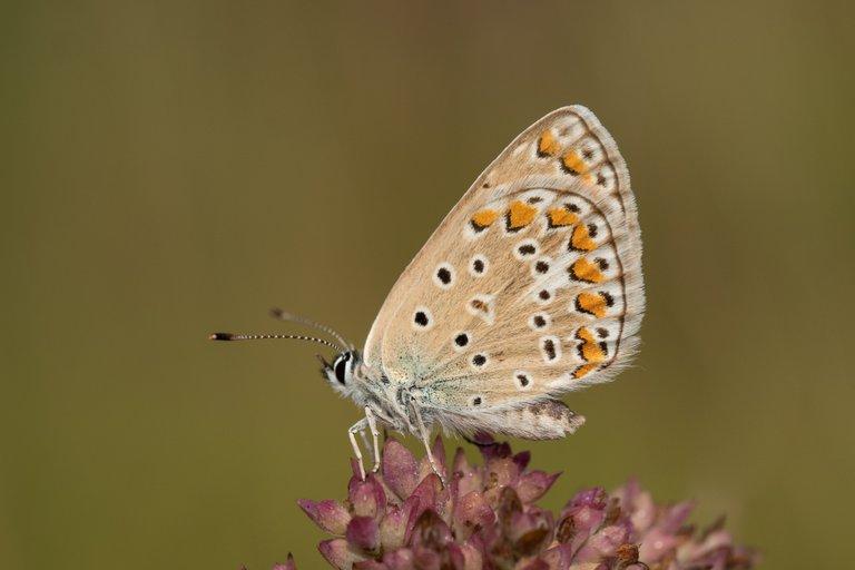 HauhechelBläuling Polyommatus icarus_P2028268.jpg