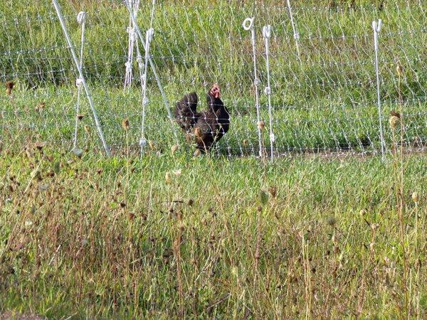 Australorp in snake fence crop August 2020.jpg
