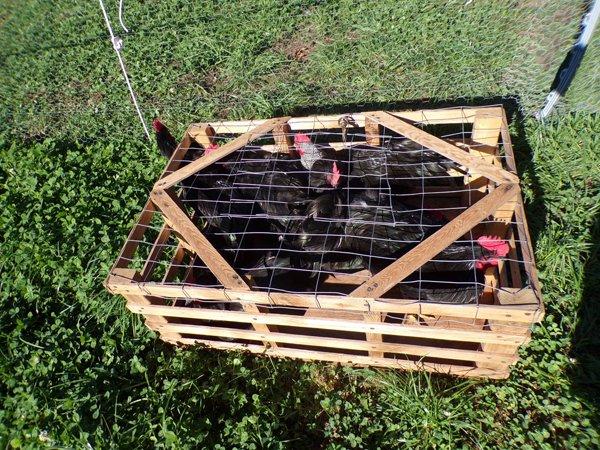Freezer Camp  8 roosters crop Sept. 2020.jpg