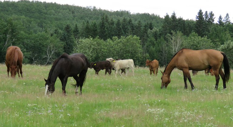 3 horses grazing 2 calves playing in background.JPG