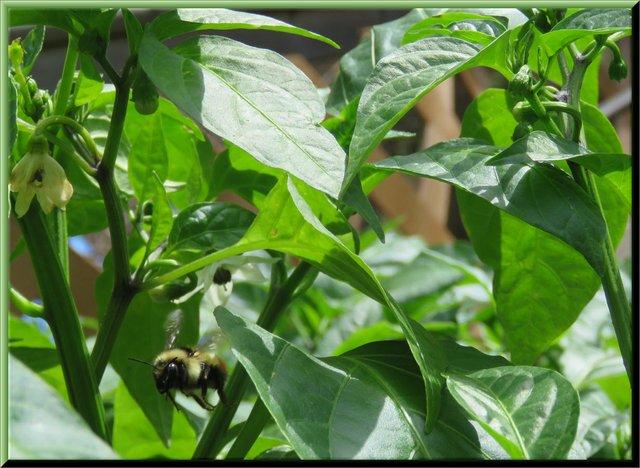 bee flying over flowering jalapeno pepper plants.JPG