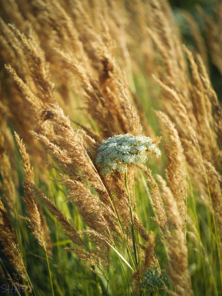вітряна трава 5.jpg