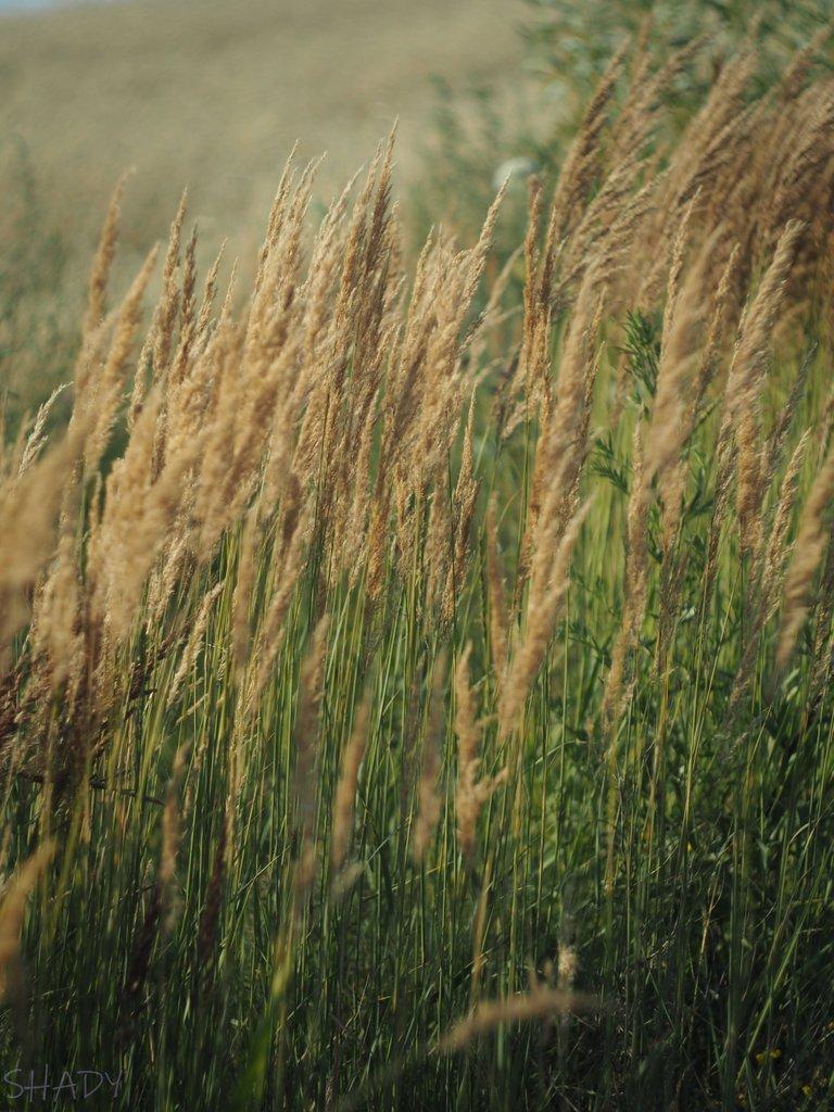 вітряна трава 4.jpg