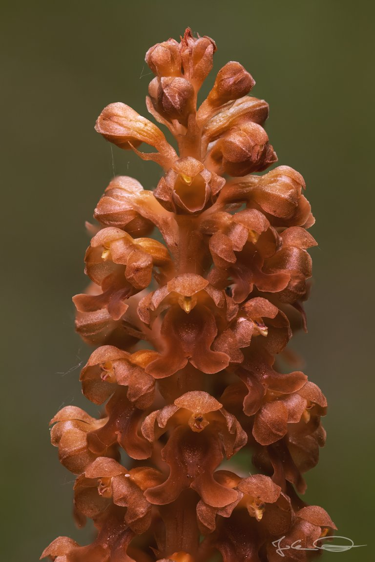 Hive AlphabetHunt Orchid - Neottia Nidus-Avis, the Birds-Nest Orchid