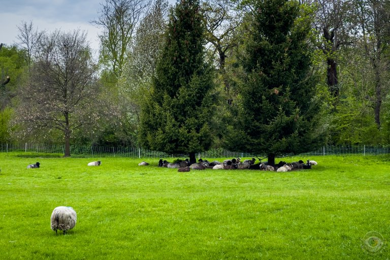 Gotland Sheep in the Park