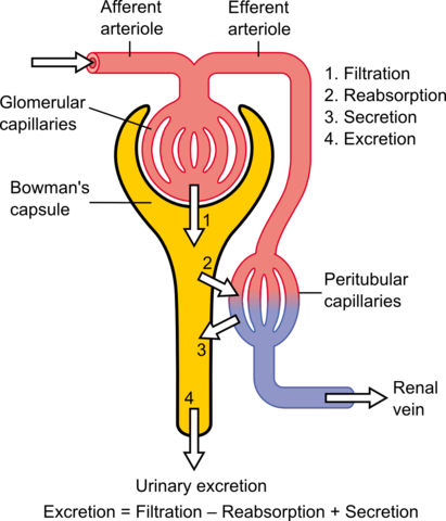 Schematic diagram of the nephron (yellow), relevant circulation (red/blue), and the four methods of altering the filtrate.
