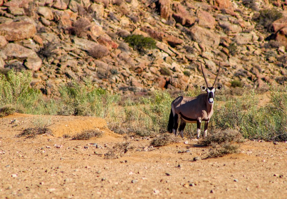 The Gemsbok is a desert specialist and has learnt to master these harsh environments by making use of a low metabolism and a carotid rete system (which is a group of nasal blood vessels that are designed to cool the blood while circulating it through to the brain).