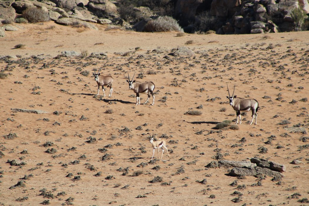 Some Gemsbokke, and a lonely Springbok (South Africa's national animal).