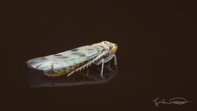 Swimming Leafhopper Cicada